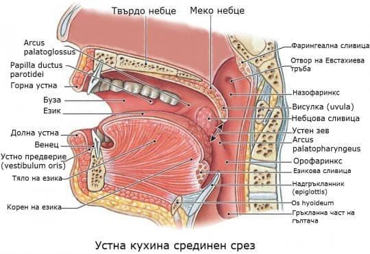 Устна кухина (cavitas oris) - изображение