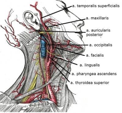 Външна сънна артерия (arteria carotis externa) - изображение