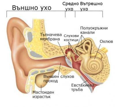 Външно ухо (auris externa) - изображение