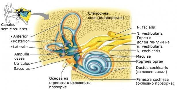 Вътрешно ухо (auris inerna) - изображение
