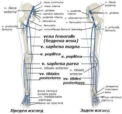 Вени на долния крайник (venae membri inferioris) - изображение
