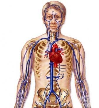 Венозен отдел на сърдечно-съдовета система (Pars venosa systema cardiovasculare) - изображение