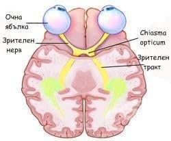 Зрителен нерв (nervus opticus) - изображение