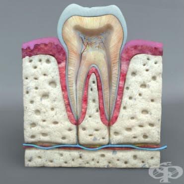 Зъби (dentes) - изображение