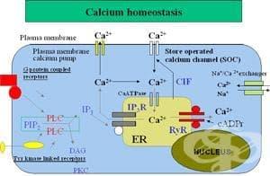 КАЛЦИЕВА ХОМЕОСТАЗА (CALCIUM HOMEOSTASIS) | ATC H05 - изображение