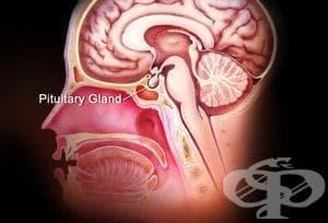 ХОРМОНИ НА ЗАДНИЯ ДЯЛ НА ХИПОФИЗАТА (POSTERIOR PITUITARY LOBE HORMONES) | ATC H01B - изображение