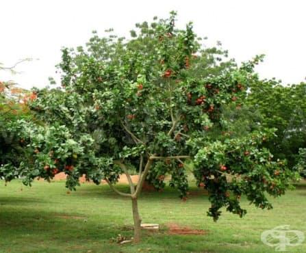 Аки, Ямайски плод - изображение