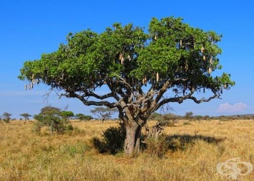 Кигелия, Колбасово дърво - изображение