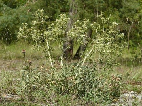 Ветрогон, Биволски трън - изображение