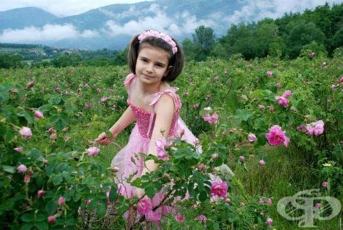 Българска маслодайна роза, Казанлъшка маслодайна роза, Българска роза, Казанлъшка роза - изображение