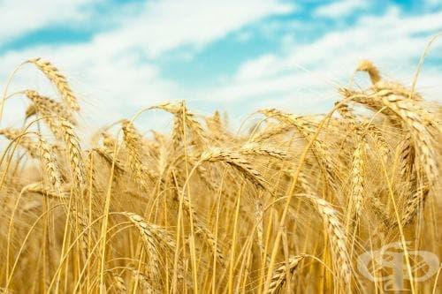 Пшеница, Обикновена пшеница, Зимна пшеница, Обикновена зимна пшеница, Зимна обикновена пшеница, Мека пшеница, Хлебна пшеница, Кутрулица - изображение