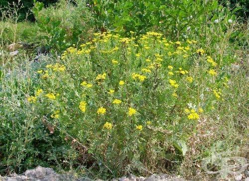 Вратига, Оборчлива билка, Вратика, Обикновена вратига - изображение
