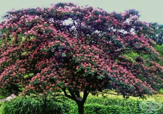 Юлибрисинова албиция, Копринено дърво - изображение