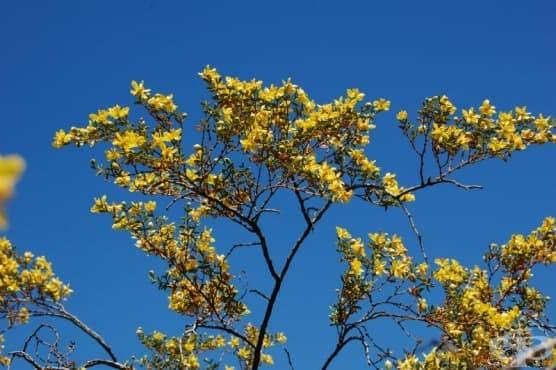 Ларея тризъба, Креозотов храст, Чапарал - изображение