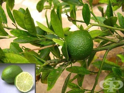 Лайм, Зелен лимон - изображение