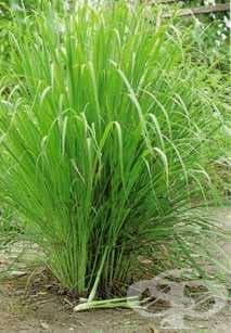 Лимонена трева, Цитронела - изображение