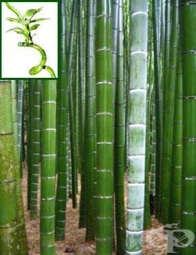 Бамбук - изображение