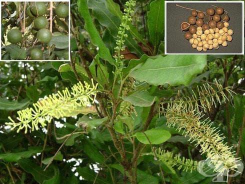 Макадамия, Австралийски орех - изображение