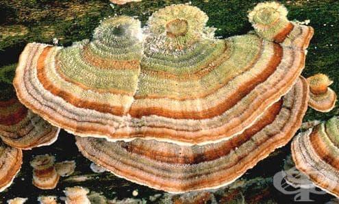 Каваратаке, Кауаратаке, Кориолус, Пуешка опашка - изображение