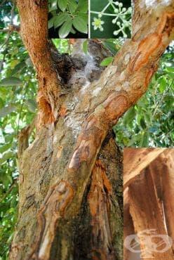 Канелено дърво, Канела - изображение