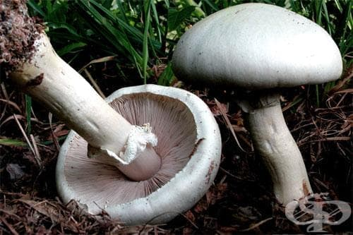 Полска печурка, Червенушка - изображение