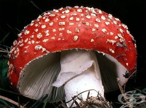 Червена мухоморка - изображение