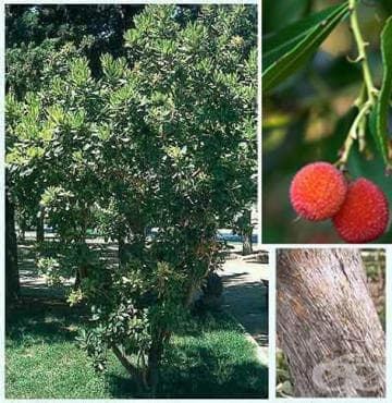Ягодово дърво, Арбутус - изображение