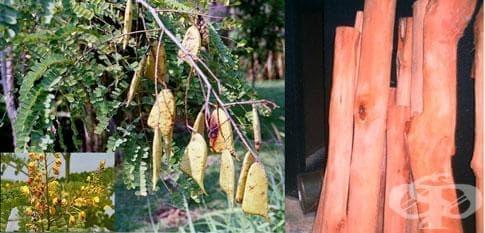 Сапаново дърво, Самфен - изображение