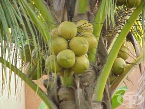 Кокосов орех - изображение