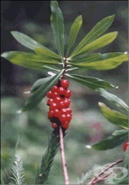 Бясно дърво, Вълча ягода, Вълча жила - изображение