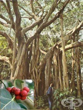 Бенгалски фикус, Банян - изображение