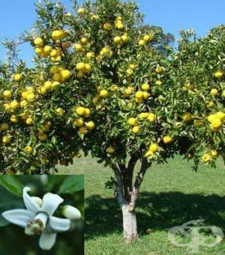 Грейпфрут - изображение