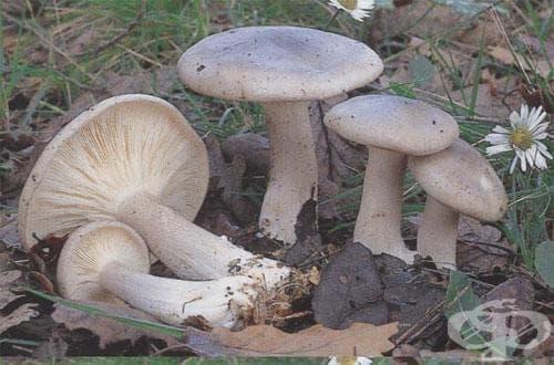 Есенна миризливка, Орешарка, Чучулетка, Сивушка - изображение