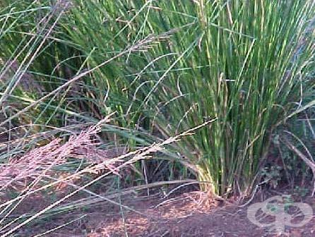 Ветивер, индийски троскот - изображение
