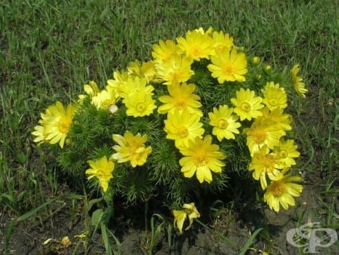 Горицвет, Жълт божур, Зайчи мак, Кукувиче око, Слети коса, Опадикос - изображение