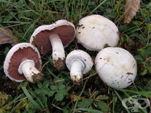 Ливадна печурка, Анасонова печурка, Анасонлийка, Ливадна печурка, Бяла горско-ливадна печурка - изображение