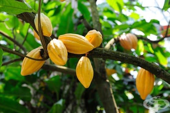 Какаово дърво - изображение