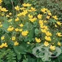 Блатняк – обикновен, Жълт блатняк - изображение