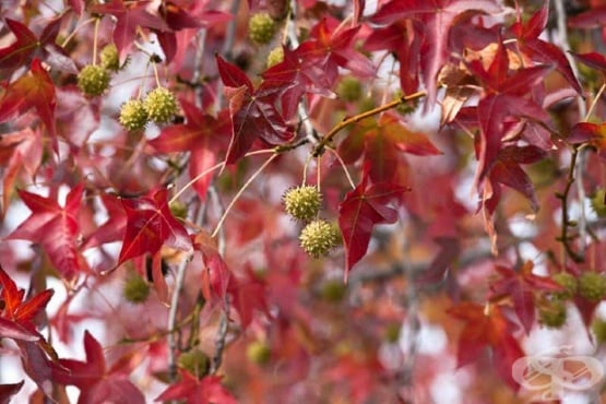 Амброво дърво, Ликвидамбър, Американска сладка дъвка - изображение