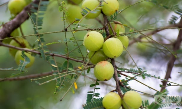 Индийско грозде, Еуфорбия, Амла, Амалаки - изображение