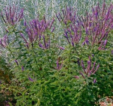 Аморфа канесценс, Пухкав индигов храст, Оловен плод - изображение