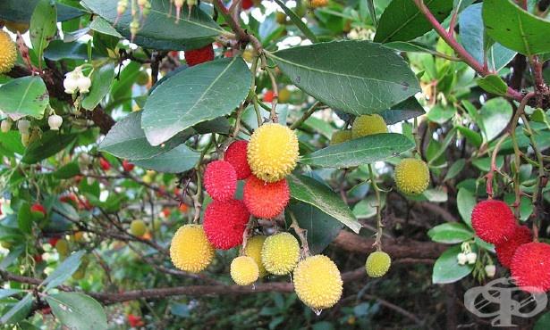 Ягодово дърво, Арбутус, Кумарка - изображение