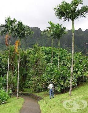 Арека катеху, Арекова палма, Бетелова палма, Бетелов орех - изображение