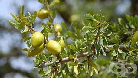 Арганово дърво - изображение