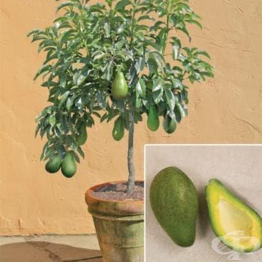 Авокадо - изображение