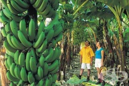 Банан - изображение