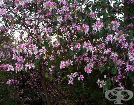 Орхидеено дърво, Пъстра баухиния - изображение