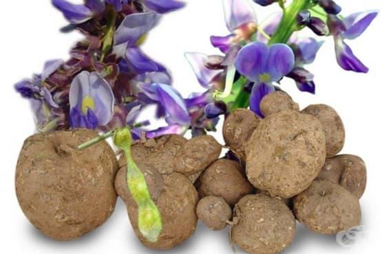 Пуерария мирифика, Квао круа - изображение