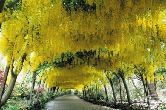 Златен дъжд, Лабурнум, Лабурнум анагироидес - изображение