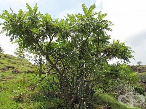 Босвелия, Тамяново дърво, Индийски тамян - изображение